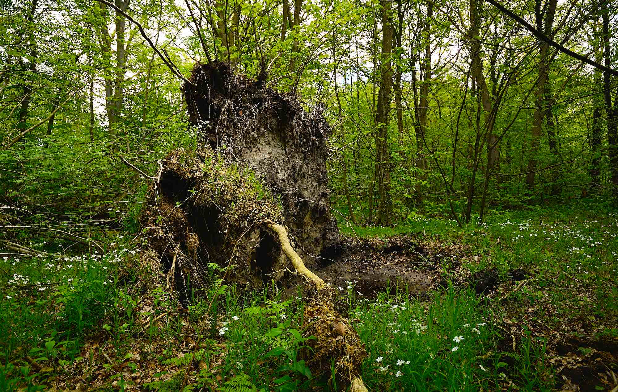 Væltede stammer med store rodkager får lov at blive liggende, hvor de falder. Draved Skov, maj (foto © Rune Engelbreth Larsen)