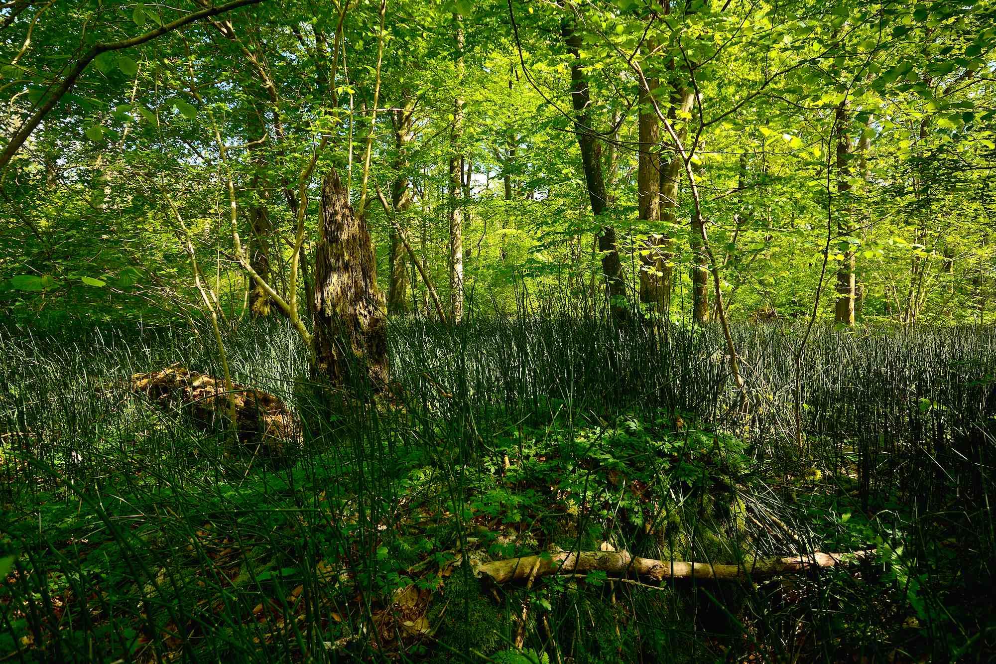 En lille 'skov' af skavgræs i titusindvis dækker skovbunden. Draved Skov, maj (foto © Rune Engelbreth Larsen)