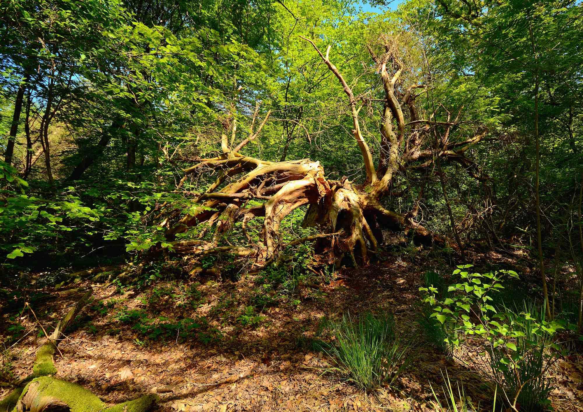 Naturskulptur. Draved Skov, maj (foto © Rune Engelbreth Larsen)