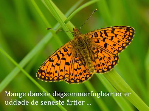 Mange danske sommerfuglearter er uddøde de seneste årtier
